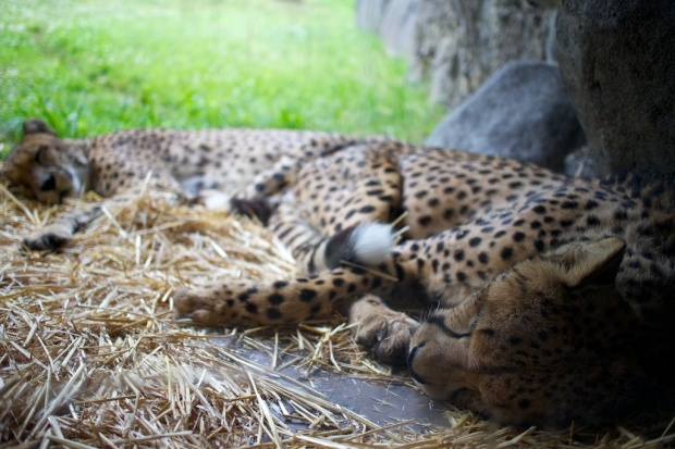 sleeping cheetahs